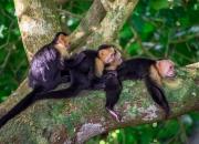 Kapuzineraffen-Familie Manuel Antonio Nationalpark