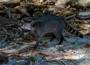 Waschbär am Strand Manuel Antonio Nationalpark