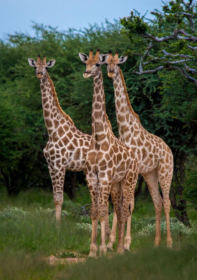 3 Giraffen Mt. Etjo, Namibia