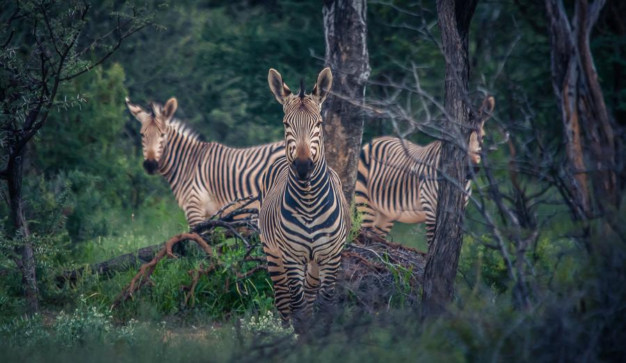 3 Zebras Mt. Etjo, Namibia