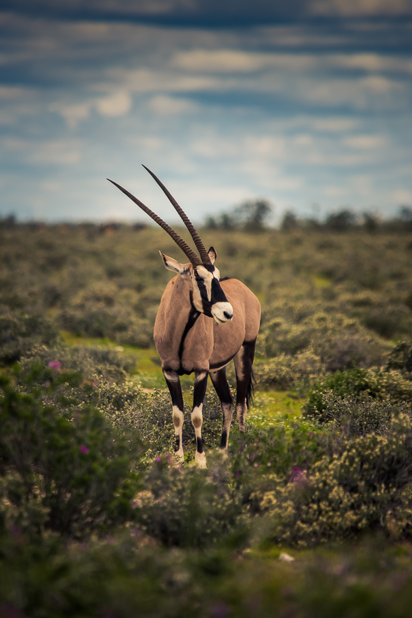 Oryx-Antilope, Etoscha, Namibia