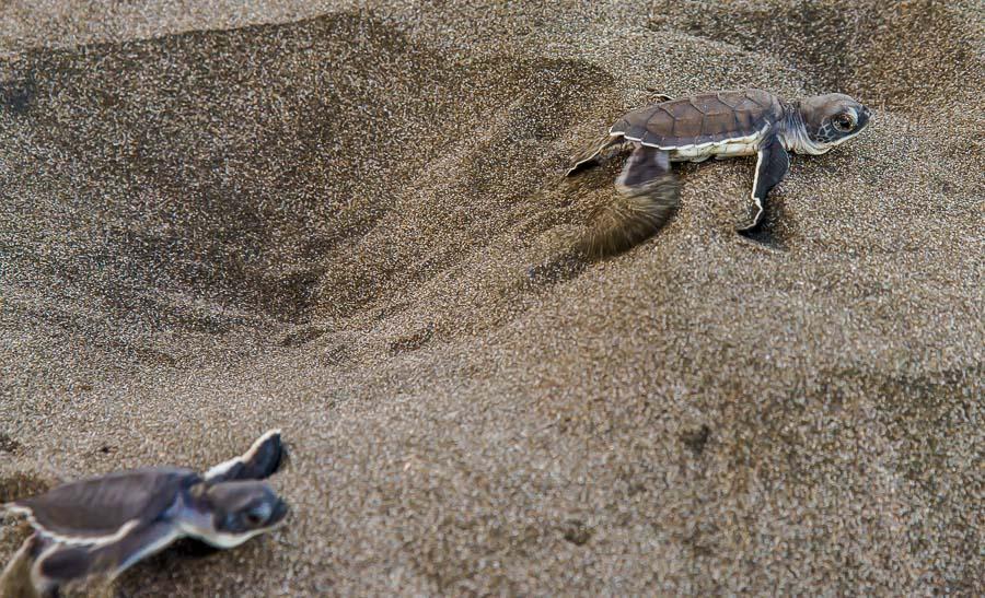 Frisch geschlüpfte Schildkröten
