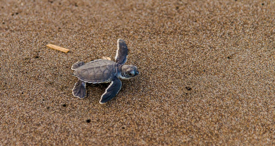 Baby-Schildkröte