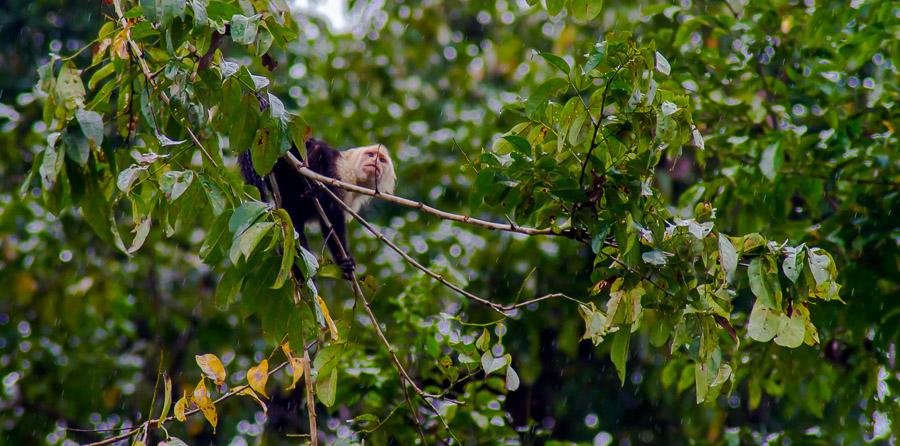 Kapuzineraffe im Baum