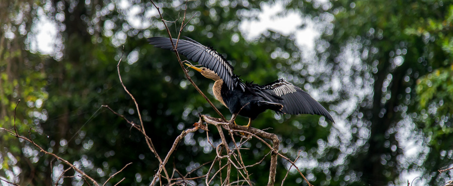 Schlangenhalsvogel (Anhinga)