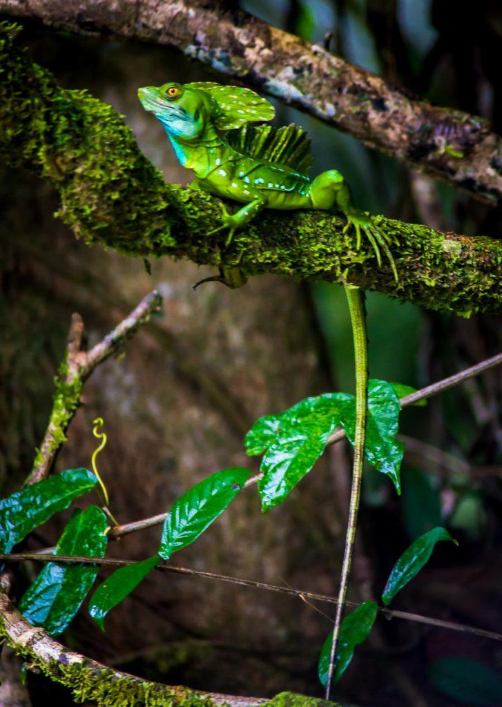 Ein Smaragd-Basilisk, eine Leguanart.